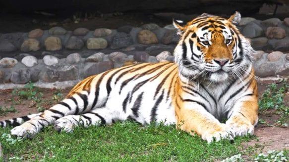 Jaipur-Zoo-Jaipur-tiger