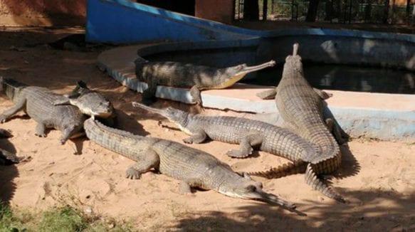 crocodile-jaipur-zoo