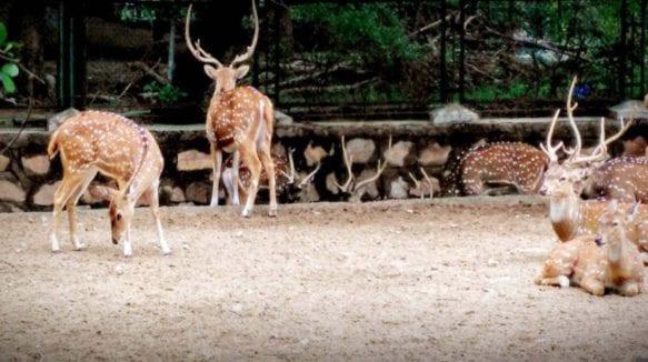 jaipur-zoodeer