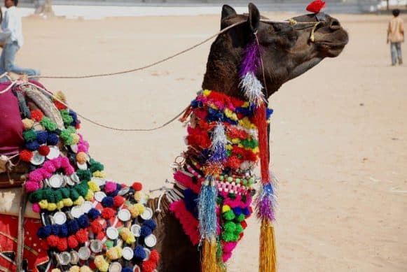 Pushkar camel fair Rajasthan worlds largest camel fair